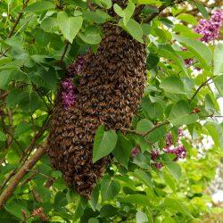 swarm-1548381_1920
